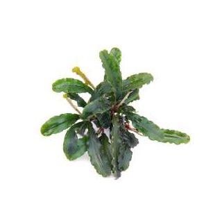 Bucephalandra spec. Wavy Leaf