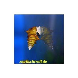 Brotia pagodula - Stachelige Turmdeckelschnecke 5 Stück
