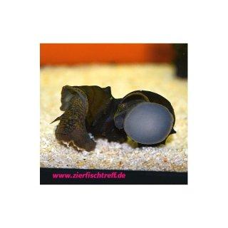 Igelschnecke - Brotia armata 5 Stück