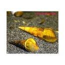 Riesen-Turmdeckelschnecke - Brotia herculea 5 Stück