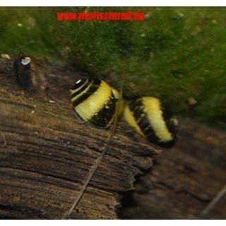Geweihschnecke zweifarbig Clithon corona 10 Stück - TOP Algenfresser