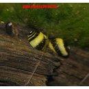 Geweihschnecke zweifarbig Clithon corona 10 Stück -...