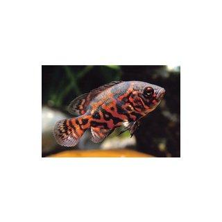 Astronotus ocellatus var. Red Tiger