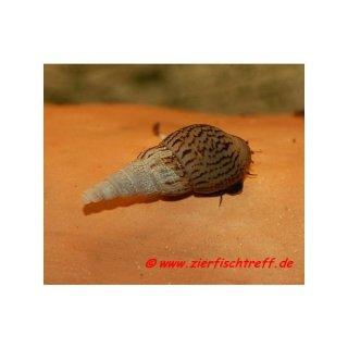 Melanoides tuberculatus - Turmdeckelschnecke - 10 Stück