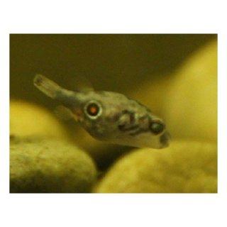 Pao cochinchinensis - Süßwasser-Kugelfisch