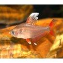 Hyphessobrycon bentosi White Fin - Rosen-Salmler