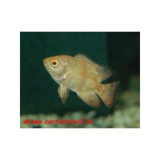Astronotus ocellatus var. Albino