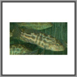 Nimbochromis livingstonii - Schläfer Haplochromis