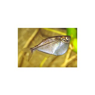 Gasteropelecus sternicla - Silber-Beilbauchfisch