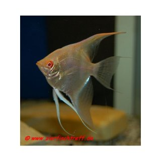 Pterophyllum scalare Albino Red Eye Gold