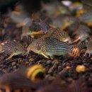 Corydoras sterbai - Orangeflossen-Panzerwels
