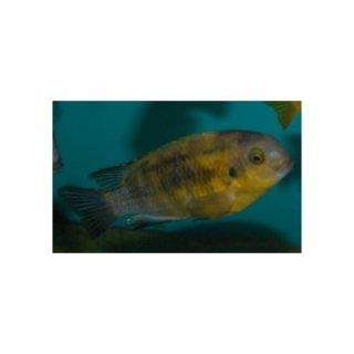 Pseudotropheus tropheops - Gelber Maulbrüter