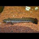 Polypterus teugelsi - ein richtig seltner Flösselhecht