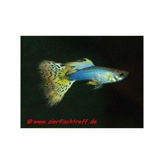 Poecilia reticulata Yellow / Black spotted - Guppy