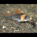 Corydoras eques - Dreieckspanzerwels