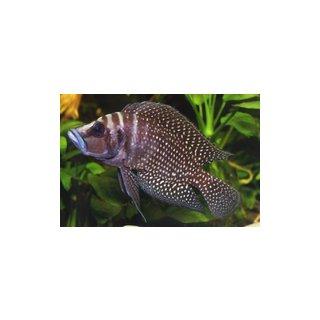 Altolamprologus calvus black - Schwarze Zuchtform