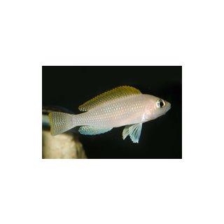 Neolamprologus caudopuntatus
