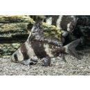Myxocyprinus asiaticus - Wimpelkarpfen