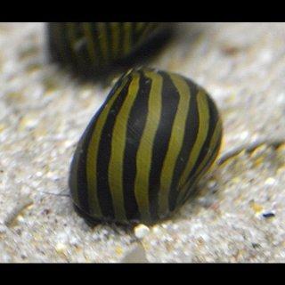 Vittina coromandeliana - Zebra Rennschnecke - 5 Stück