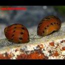 "Vittina semiconica - Rennschnecke "" orange track..."
