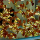 Flame-Glowlight Guppy, Poecilia reticulata