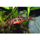 Barbus rhomboocellatus - Rhombenbarbe