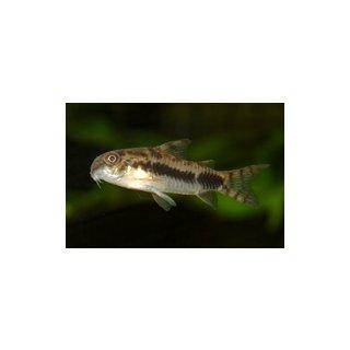 Corydoras habrosus - Schachbrett-Zwergpanzerwels