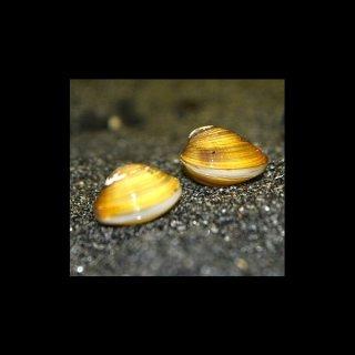 5 Stück Corbicula spec. Tropische Zwergrillenmuschel - Körbchenmuschel
