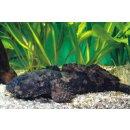 Allenbatrachus grunniens - grunzender Krötenfisch