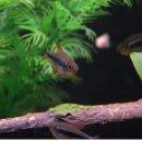 Hyphessobrycon nigricinctus - Peru-Kaisersalmler