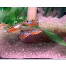 Poecilia wingei - Guppy Endler blue/red 1 Paar
