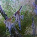 Pterophyllum scalare Rotrücken Manacapuru