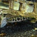 Leporinus ortomaculatus
