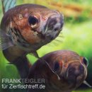 Betta unimaculata - Grosser Kampffisch