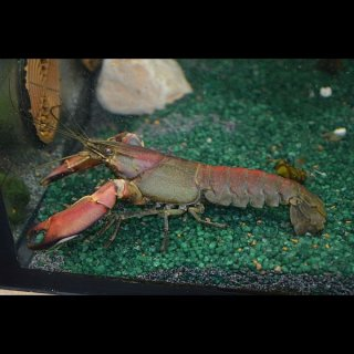 Cherax boesemani red brick - Papuakrebs
