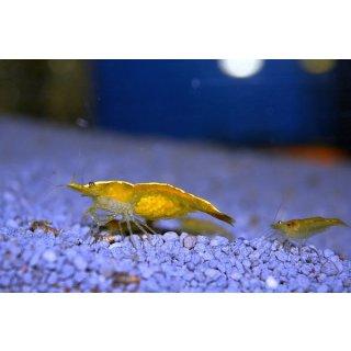 Neocaridina davidi var. gelb - Yellow Fire Garnele (DNZ)