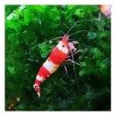 Red Bee Garnele (DNZ) 10 Stück