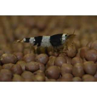 Black Bee Garnele (DNZ) 10 Stück